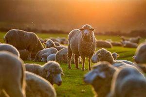 Mở cửa cho con gái xem cừu, người cha nhận bài học 'sốc'