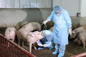 Dịch tả lợn châu Phi Nam chính thức Nam tiến