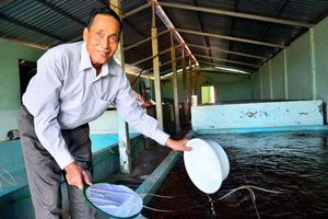 Kiên Giang: Trở thành tỷ phú nhờ nghề...'đỡ đẻ' cho tôm