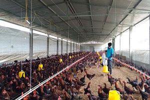 Quảng Bình: Kỹ sư thú y về quê nuôi gà, cứ bán 1.000 con lời 30 triệu