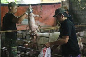 Người dân 'dài cổ' chờ tiền hỗ trợ tiêu hủy lợn mắc dịch tả châu Phi