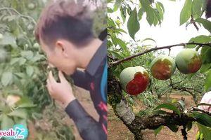 Nhóm phượt thủ mua vé 20k vào phá tan vườn mận Mộc Châu, cắn nham nhở quả trên cây khiến nhiều người bức xúc