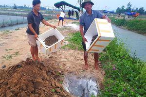 Ốc hương bị chết hàng loạt do quản lý môi trường nuôi và thời tiết