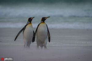 Ảnh hiếm vợ chồng chim cánh cụt trốn con đi 'hâm nóng' tình cảm