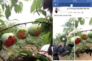 Phẫn nộ nhóm du khách bỏ 20.000 đồng vào vườn mận, gặm quả nham nhở trên cây