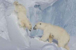 Gấu con rơi vách băng, gấu mẹ bất chấp làm điều kinh ngạc