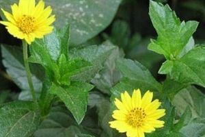 Bài thuốc chữa các bệnh ngoài da, tiêu độc thanh nhiệt từ cây sài đất