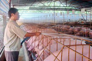 Giá heo hơi ngày 8/5: Giá heo miền Nam tiếp tục giảm do dịch heo tai xanh ở Đồng Nai
