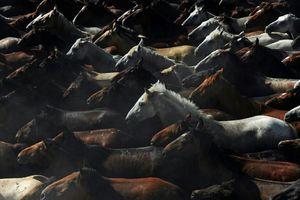 Nhân giống hiện đại khiến ngựa hoang dần biến mất