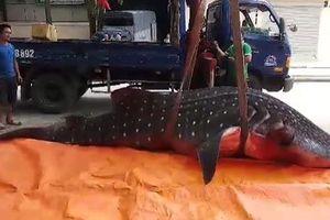 Chuyện chưa kể về cá khủng bị 'xẻ thịt' ở Sầm Sơn