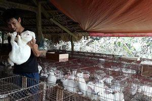 Yên Bái: Nuôi thỏ New Zealand, lãi cả trăm triệu mỗi năm