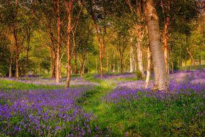 Triệu bông hoa chuông xanh dệt nên cánh rừng ở Anh đẹp như cổ tích