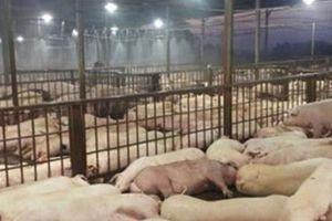 TP Hồ Chí Minh ứng phó cấp bách với dịch tả lợn châu Phi