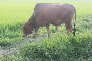 Xét nghiệm ADN… cho bò để tìm chủ