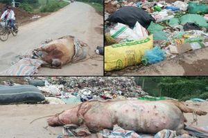 Hà Nội: Kinh hãi lợn chết vứt chỏng chơ trên đường ở Thanh Oai
