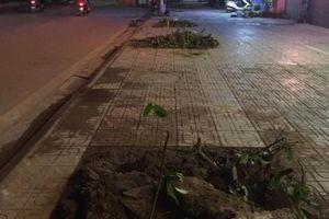Hàng trăm cây sấu ở Hà Nội bị chuyển đi trong đêm