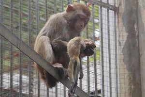 Con chết, khỉ mẹ đau đớn làm điều 'sốc' xem nghẹn lòng