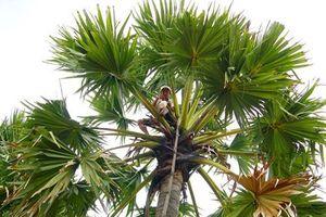 Kiếm tiền triệu từ nghề trèo cây lấy mật thốt nốt