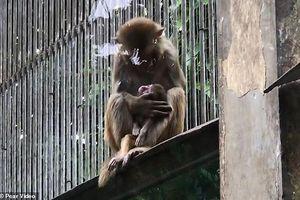 Khỉ mẹ cố gắng đánh thức khỉ con đã chết khiến hàng triệu trái tim thổn thức