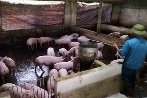 Xuất hiện thêm 3 ổ dịch tả lợn châu Phi ở Nghệ An