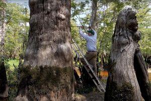Đã tìm ra cây cổ thụ 2.624 tuổi đang sống tươi tốt ở Mỹ