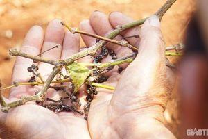Hồ tiêu Tây Nguyên chết hàng loạt, người trồng rơi vào vòng xoáy nợ nần