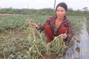 Vụ kẻ xấu phá hoại 5 sào dưa hấu ở Nghệ An: Sao họ ác quá!