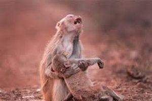 Xót xa hình ảnh khỉ mẹ ôm xác con trên tay không rời