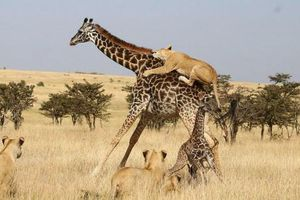 Ảnh động vật: Sư tử hạ gục hươu cao cổ, chim mớm mồi...