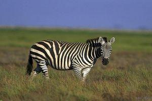 Điều bất ngờ về loài ngựa hoang dã đẹp nhất thế giới