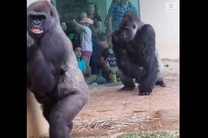 Vì sao video gia đình khỉ đột trú mưa lại gây bão và thu hút 8 triệu lượt xem?