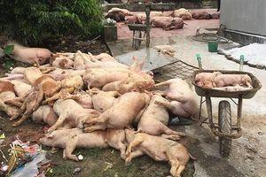 Dịch tả châu Phi lan 29 tỉnh: Thứ trưởng giật mình thấy xác lợn thả trôi liên tỉnh