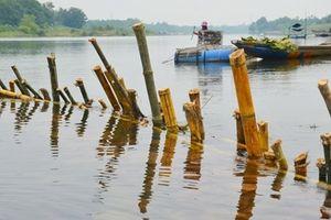 Người dân đóng cọc tre xuống sông Bồ ngăn chặn nạn khai thác cát trái phép