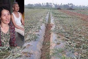 Người nông dân bị chặt phá 5 sào dưa hấu sắp đến ngày thu hoạch