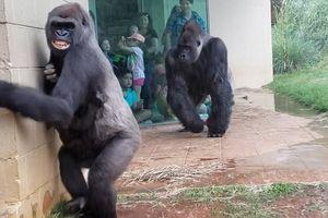 Khoảnh khắc hài hước khi những chú khỉ đột tìm cách 'né' mưa