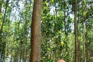 Quảng Nam: Liên kết trồng rừng gỗ lớn tiếp cận chứng chỉ rừng FSC