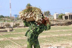Tỏi Phan Rang - đặc sản của vùng đất nắng và gió Ninh Thuận