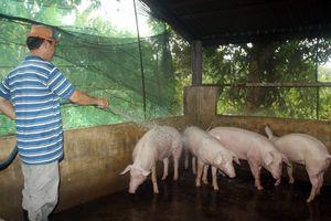 Hậu Giang phát hiện dịch tả lợn Châu Phi