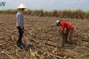Nông nghiệp Tây Nguyên: Vì sao 'Nhà nông' không theo 'Nhà nước'?