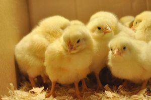 Vận chuyển trái phép hơn 22 nghìn con gà giống không rõ nguồn gốc