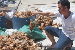 Trại gà bị 'đột kích' trong đêm, hơn nghìn con gà chết chất đống