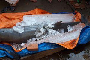 Cá lạ 150 kg bắt được trên sông Cổ Chiên là cá heo sắp tuyệt chủng?