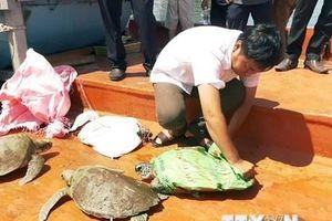 Quảng Nam sẽ thả 7 cá thể rùa quý hiếm về môi trường tự nhiên