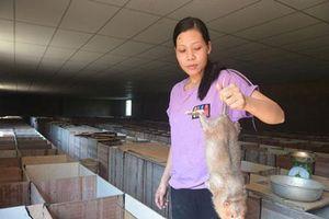Quảng Nam: Đảm đang nuôi loài chuột ăn tre nứa, bán 1,2 triệu/cặp