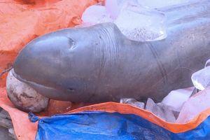 Ngư dân bắt được cá lạ nặng 1,5 tạ trên sông Cổ Chiên