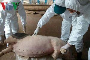 Dập dịch tả lợn châu Phi ở Bắc Kạn: Khó khăn từ việc quản lý lợn giống