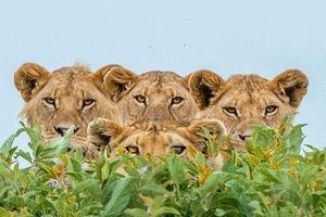 Nhiếp ảnh gia 'hú hồn' bị cả nhà sư tử cảnh cáo 'gắt'