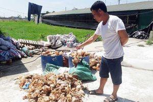 Hà Tĩnh: Hơn 1.000 con gà chết chất đống trong trang trại