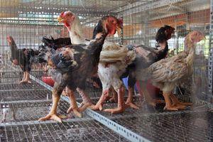 Điều tra vụ gà trong trang trại chết la liệt