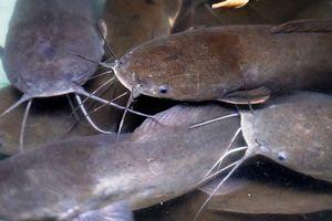 Đàn cá trê nặng gần chục kg mỗi con trong bệnh viện ở Sài Gòn